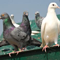 Pigeon Spiking Gutters